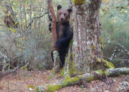 A produtora Zeitun Films grava o primeiro oso en 150 anos no Macizo Central ourensán